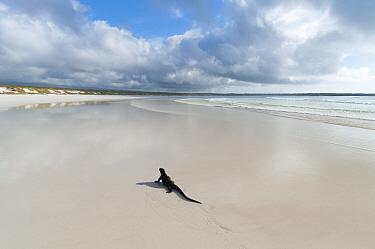 Marine Iguana (Amblyrhynchus cristatus) large male migrating to breeding areas at the onset of warm season Tortuga Bay, Santa Cruz Island, Galapagos  -  Tui De Roy/ npl