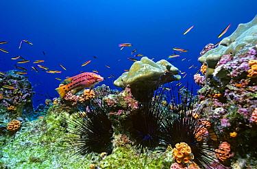 Galapagos Reef scene with Black spiny sea urchin (Diadema antillarum) and female Hogfish (Lachnolaimus maximus), Cup corals and blennies, Galapagos  -  Mark Jones/ npl