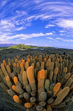 Lava Cactus (Brachycereus nesioticus) endemic pioneering plant, first to colonise new lava flow Punta Espinosa, Fernandina Island, Galapagos  -  Tui De Roy/ npl