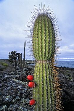 Giant candelabra cactus (Jasminocereus thouarsii) fruiting, South Coast, Santa Cruz Island, Galapagos  -  Tui De Roy/ npl