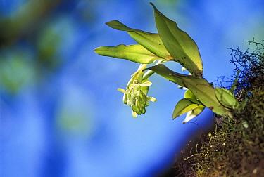 Epiphytic Orchid (Epidendrum spicatium) endemic species, Highlands, Santa Cruz Island, Galapagos  -  Tui De Roy/ npl
