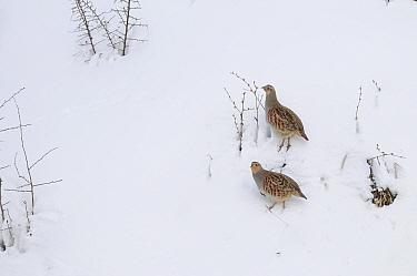 Grey Partridges (Perdix perdix) foraging for seeds in snow, Corund, Transylvania, Romania February  -  Zoltan Nagy/ npl