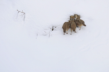 Grey Partridge (Perdix perdix) feeding in snow, Corund, Transylvania, Romania February  -  Zoltan Nagy/ npl