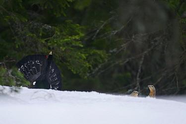 Western Capercaillie (Tetrao urogallus) displaying to females at a lekking site, Retezat Mountains, Retezat National Park, Romania, April  -  Zoltan Nagy/ npl