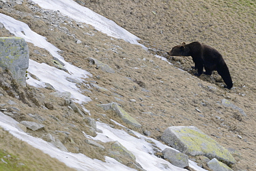 Brown bear (Ursus arctos arctos) in mountain habitat eating snow to drink, cool down in the Retezat Mountains, Romania June  -  Zoltan Nagy/ npl