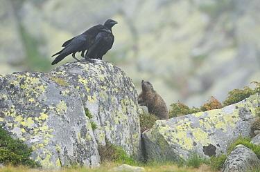 Common Ravens (Corvus corax) with a Alpine marmot (Marmota marmota) Retezat Mountains of Romania June  -  Zoltan Nagy/ npl