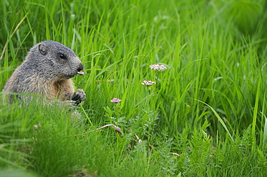 Alpine Marmot (Marmota marmota) feeding on (Ligusticum mutellina) in the alpine zone of the Retezat Mountains, Romania June  -  Zoltan Nagy/ npl