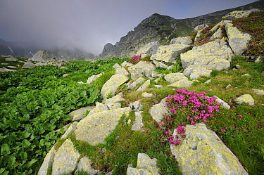 Rhododendron (Rhododendron kotschyi) in the alpine zone of the Retezat Mountains, Romania June  -  Zoltan Nagy/ npl