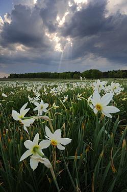 Wild Narcissus (Narcissus angustifolius) meadow Corund, Transylvania, Romania April  -  Zoltan Nagy/ npl