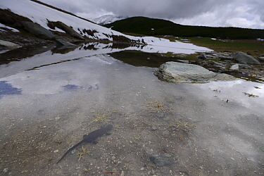 Alpine newt (Ichthyosaura alpestris) in lake, Retezat Mountains, Romania May  -  Zoltan Nagy/ npl