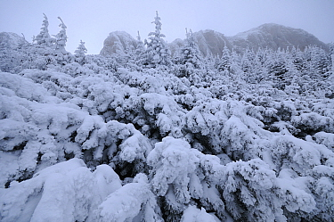Dwarf mountain pines (Pinus mugo) covered in snow, Ceahlau Mountains, Romania, January  -  Zoltan Nagy/ npl