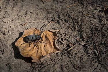 Longhorn beetle (Morimus funereus) on forest floor Macin Mountains National Park, Romania, August  -  Zoltan Nagy/ npl