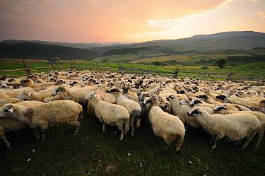 Flock of sheep (Ovis aries) in fold, Transylvania Gurghiu Mountains, Romania July  -  Zoltan Nagy/ npl