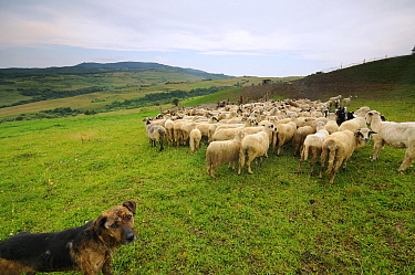Flock of sheep (Ovis aries) outside fold with a shepherd dog, Transylvania Gurghiu Mountains, Romania July  -  Zoltan Nagy/ npl