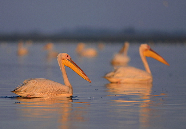 Great White Pelicans (Pelecanus onocrotalus) at dawn in the Danube Delta, Romania, June  -  Zoltan Nagy/ npl