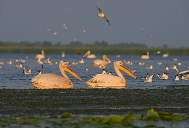 Group of Great White Pelicans (Pelecanus onocrotalus) at dawn, Danube Delta, Romania, June  -  Zoltan Nagy/ npl