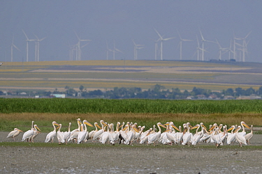 Great White Pelicans (Pelecanus onocrotalus) resting along a lake in the Danube Delta, with wind turbines in the background, Romania, June 2013  -  Zoltan Nagy/ npl