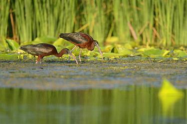 Glossy Ibises (Plegadis falcinellus) foraging in the Danube Delta, Romania June  -  Zoltan Nagy/ npl