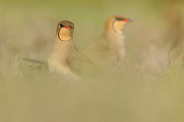 Common Pratincoles (Glareola pratincola) among salt marsh vegetation, near the Danube Delta and the coastal lagoons Vadu, Romania, May  -  Zoltan Nagy/ npl