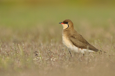 Common Pratincole (Glareola pratincola) among salt marsh vegetation, near the Danube Delta and the coastal lagoons Vadu, Romania, May  -  Zoltan Nagy/ npl
