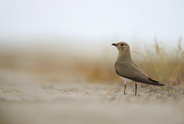 Common Pratincole (Glareola pratincola) among salt marsh vegetation, near the Danube Delta and the coastal lagoons Vadu, Romania, June  -  Zoltan Nagy/ npl