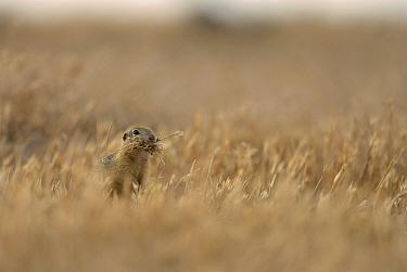 European ground squirrel (Spermophilus citellus) collecting hay for its den Danube Delta, Romania June  -  Zoltan Nagy/ npl