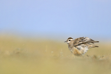 Eurasian Dotterel (Charadrius morinellus) shaking its wings Baragan area, Romania August  -  Zoltan Nagy/ npl