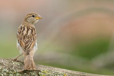 Eurasian Tree Sparrow (Passer montanus) Panet, Romania June  -  Zoltan Nagy/ npl