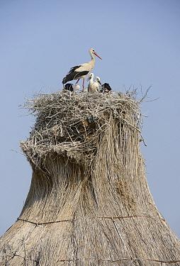White storks (Ciconia ciconia) nesting on stack of reeds, Lupilor sandbank, Danube Delta, Romania, June  -  Zoltan Nagy/ npl