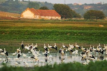 White storks (Ciconia ciconia), Little egret (egreta garzetta) and Spoonbill (Platalea leucorodia) gathered at shallow lake on abandoned fish farm in the Danube floodplains, near Cetate, Romania Augus...  -  Zoltan Nagy/ npl