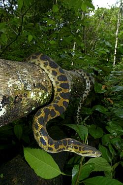 Dark-spotted anaconda (Eunectes descheuenseei) French Guiana  -  Daniel Heuclin/ npl