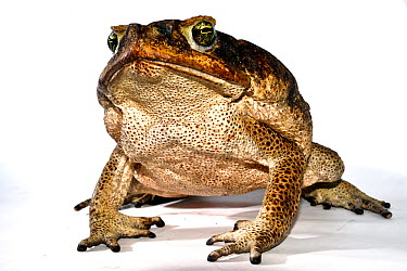 Cane toad (Rhinella marina) French Guiana Taken in field studio with white background  -  Daniel Heuclin/ npl
