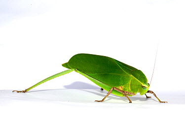 Leaf Katytid (Steirodon sp) Montagne de Kaw, French Guiana Taken in field studio with white background  -  Daniel Heuclin/ npl