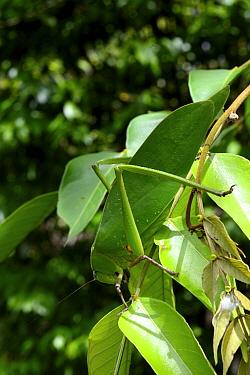 Leaf Katytid (Steirodon sp) Montagne de Kaw, French Guiana  -  Daniel Heuclin/ npl