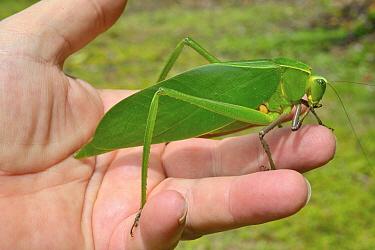 Green Leaf Katytid (Steirodon sp) held in hand, Montagne de Kaw, French Guiana  -  Daniel Heuclin/ npl