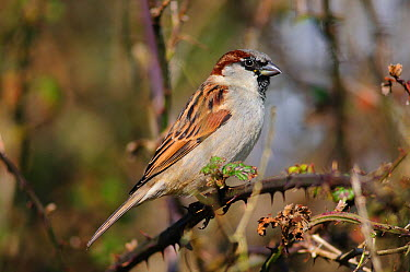 Male House sparrow (Passer domesticus) perched on twig, England, UK, February  -  Colin Varndell/ npl