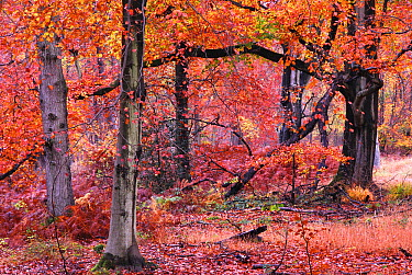 Autumnal Beech (Fagus) trees, Savernake Forest, Wiltshire, UK, November 2012  -  Colin Varndell/ npl
