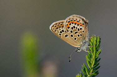 Male Silver studded blue butterfly (Plebejus argus) at rest, Winfrith Heath, Dorset, UK, July  -  Colin Varndell/ npl