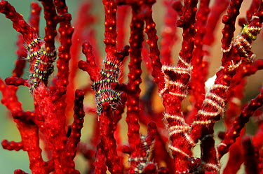 Tiny Brittlestars (Ophiothrix sp) wrapped around the branches of Fan coral, Raja Ampat, West Papua, Indonesia, Pacific Ocean  -  Solvin Zankl/ npl