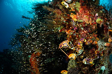 Rich reef landscape with Ox heart ascidian (Polycarpa aurata) and Reef fish, Raja Ampat, West Papua, Indonesia, Pacific Ocean  -  Solvin Zankl/ npl