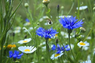 Honeybee (Apis mellifera) taking off after pollinating Cornflowers (Centaurea cyanea) in Bee World Surrey, England, UK, July 2014 Bee Worlds is an initiative of Friends of the Earth  -  Kim Taylor/ npl