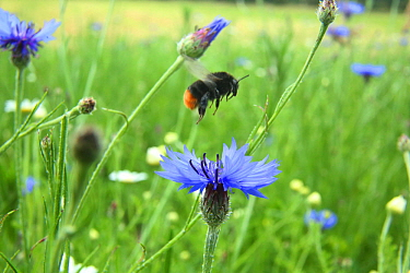 Red-tailed bumblebee (Bombus lapidarius) taking off from Cornflower (Centaurea cyanea) in Bee World Surrey, England, UK, July 2014 Bee Worlds is an initiative of Friends of the Earth  -  Kim Taylor/ npl
