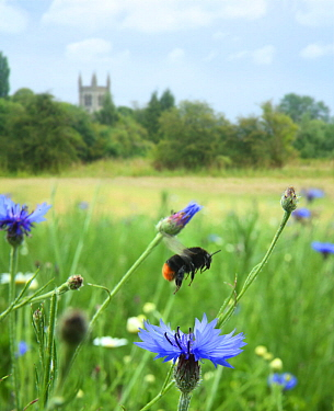 Red-tailed bumblebee (Bombus lapidarius) taking off from Cornflower (Centaurea cyanea) in Bishops Meadow, Farnham Surrey, England, UK, July 2014 Digital composite Bee Worlds is an initiative of Friend...  -  Kim Taylor/ npl