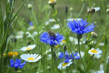 Honeybee (Apis melifera) taking off after pollinating Cornflowers (Centaurea cyanea) in Bee World Surrey, England, UK, July 2014 Bee Worlds is an initiative of Friends of the Earth  -  Kim Taylor/ npl