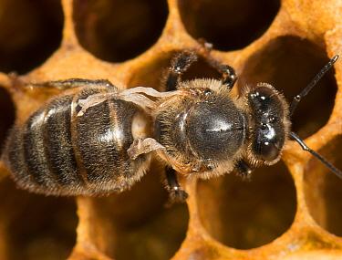 European honey bee (Apis mellifera) on comb, with deformed wing virus, transmitted by Varroa mites (Varroa destructor) captive  -  MD Kern/ PAJM/ npl