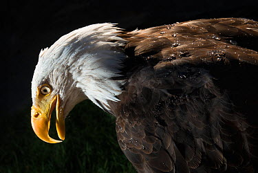 Bald Eagle (Haliaeetus leucocephalus) portrait, captive  -  MD Kern/ PAJM/ npl