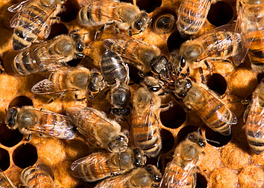 European honey bees (Apis mellifera) on comb with one with deformed wing virus (transmitted by Varroa destructor mites) and group of four participating in food exchange, captive  -  MD Kern/ PAJM/ npl