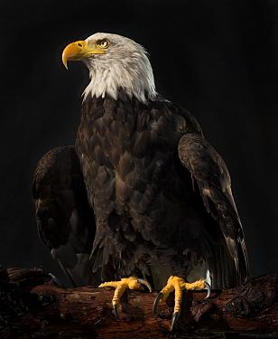 Bald Eagle, (Haliaeetus leucocephalus) portrait, captive  -  MD Kern/ PAJM/ npl