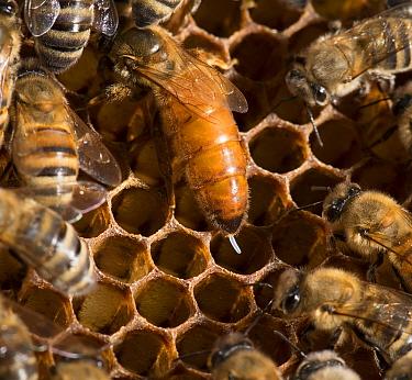 European honey bee (Apis mellifera) queen laying eggs  -  MD Kern/ PAJM/ npl