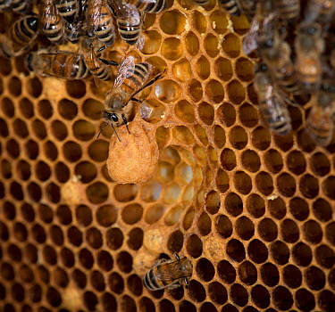 European honey bee (Apis mellifera) attending to queen cells, captive  -  MD Kern/ PAJM/ npl